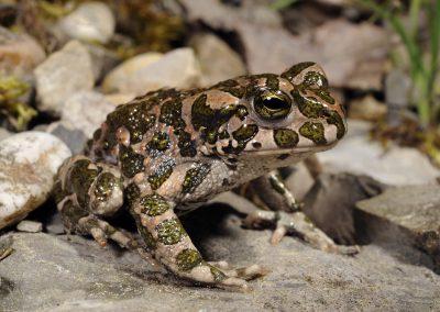 Wechselkröte (Bufotes viridis) - European green toad